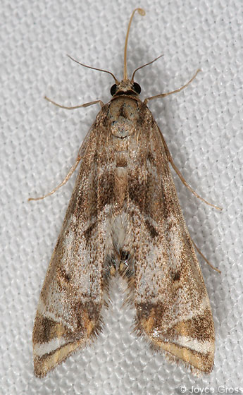 moth - Petrophila