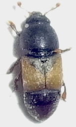 Might be Carpophilus sp. - Nitops pallipennis