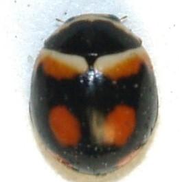Brachiacantha arizonica