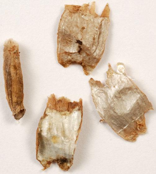 opened casebearer moth cases from mature fruits of great water dock (Rumex britannica) - Coleophora benestrigatella
