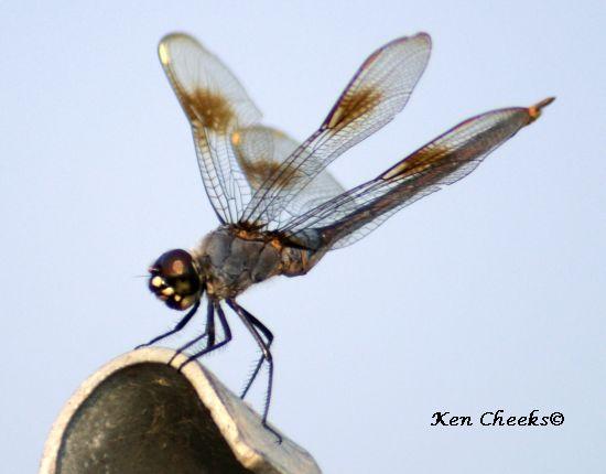 Four-spotted Pennant (Brachymesia gravida) - Brachymesia gravida - male