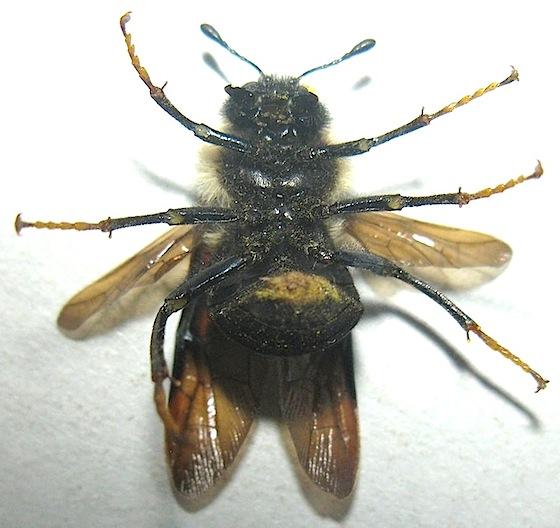 Cimbicid Sawfly?