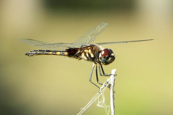 Marl Pennant - Macrodiplax balteata - male