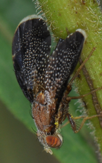Fruit fly Eutreta? - Eutreta noveboracensis