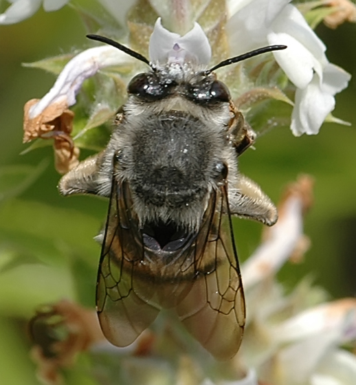 Habropoda depressa - female