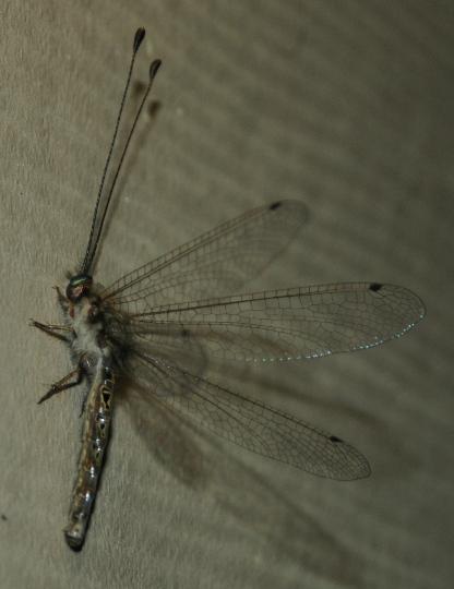 Owlfly, it is! - Ululodes macleayanus