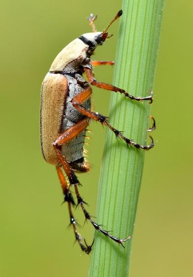 Macrodactylus subspinosus