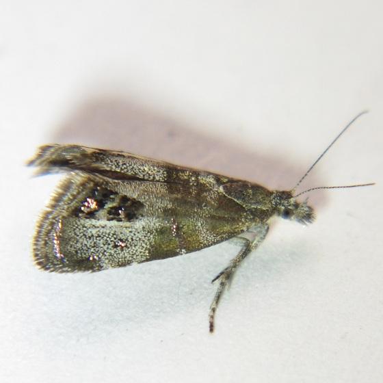 Caloreas apocynoglossa - Hodges #2634 - Caloreas apocynoglossa