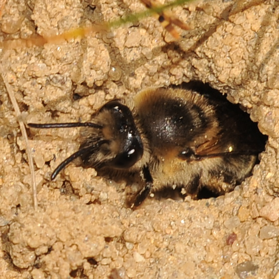 Bee in a hole - Colletes inaequalis - female