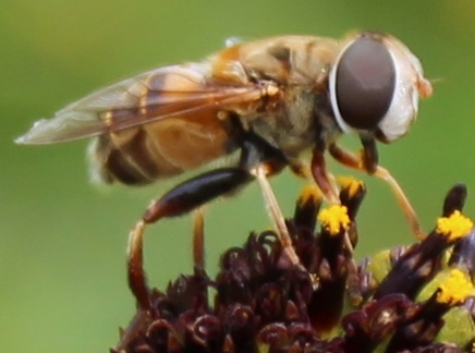 Which species of fly? - Palpada vinetorum
