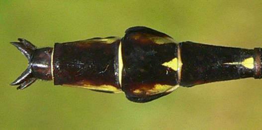 Arrow Clubtail - Stylurus spiniceps - male