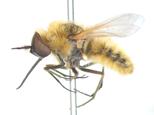 Bee fly - Sparnopolius confusus - male