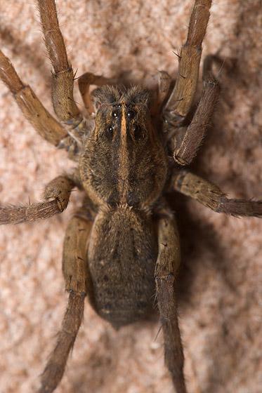 Unknown Wolf Spider - Tigrosa helluo - female