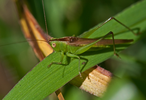 Slender Meadow Katydid - Conocephalus fasciatus