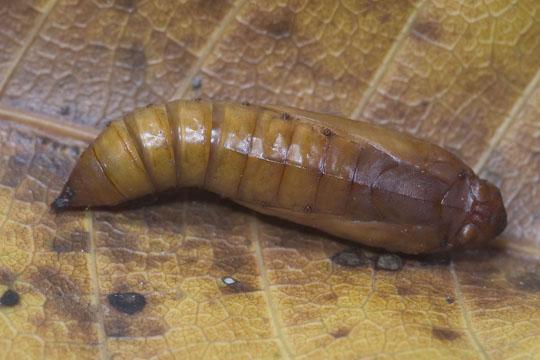 Satin White moth - pupa - Palpita flegia