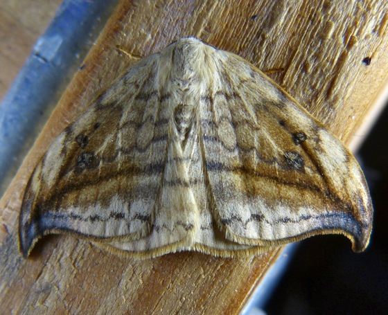 Arched Hooktip - Drepana arcuata