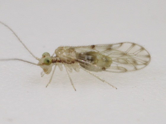 Trichopsocus dalii (McLachlan) - Trichopsocus dalii