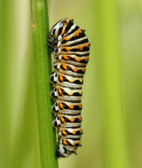 Swallowtail Caterpillar - Papilio polyxenes