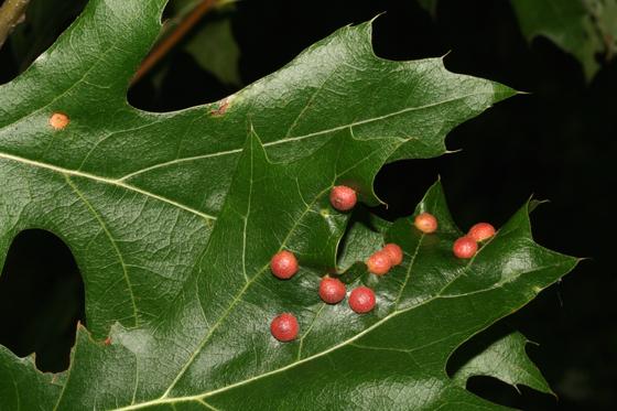 Cecidomyiidae gall on Oak - Polystepha pilulae