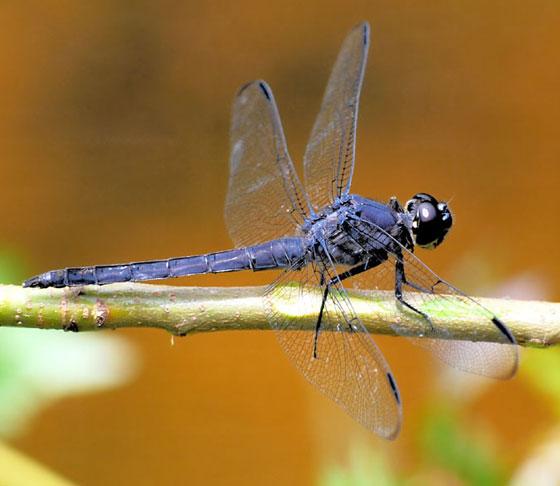 Dragonfly (Slaty Skimmer) male  1 - 5-25-09 - Libellula incesta - male
