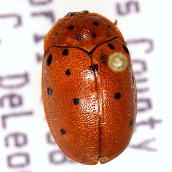 Chelymorpha cassidea (Fabricius) - Chelymorpha cassidea