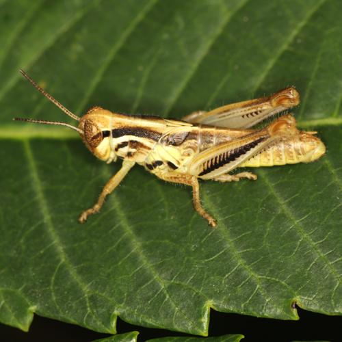 Red-legged Grasshopper - Melanoplus femurrubrum - male
