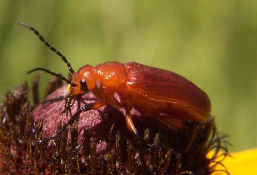 Blister Beetle - Zonitis vittigera