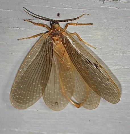 Forcepfly - Merope tuber - male