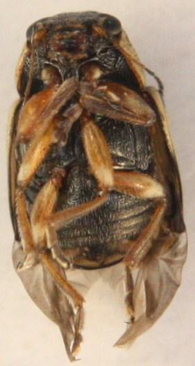 Pachybrachis o. othonus ? - Pachybrachis nigricornis - female