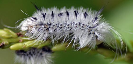 Caterpillar - Lophocampa caryae
