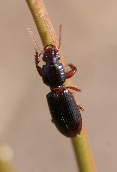 fossorial ground beetle - Clivina fossor