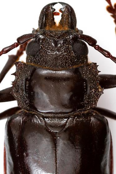 Female, Nothopleurus lobigenis? - Nothopleurus lobigenis
