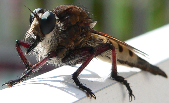 Giant Robber Fly - Promachus hinei - female