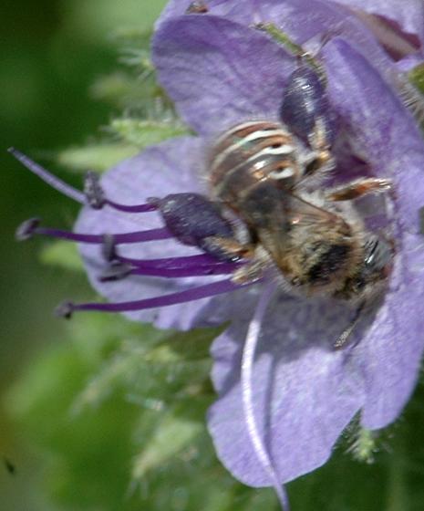 Calliopsis (Nomadopsis) - Calliopsis barbata - female