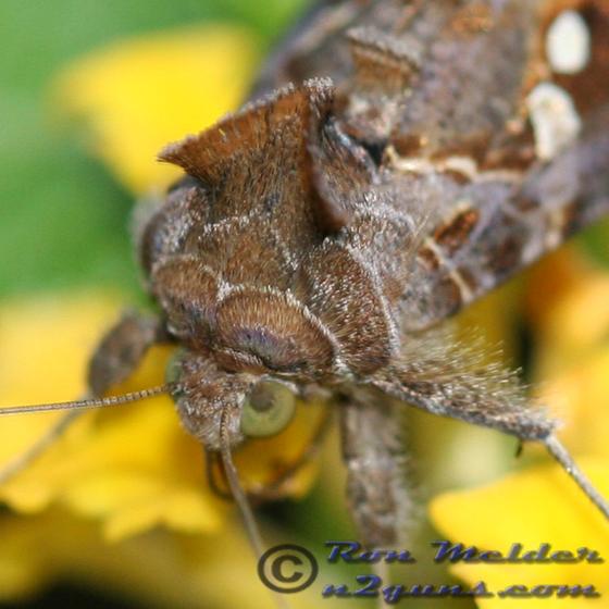 Soybean Looper - Chrysodeixis includens