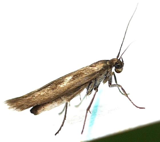 moth - Landryia impositella