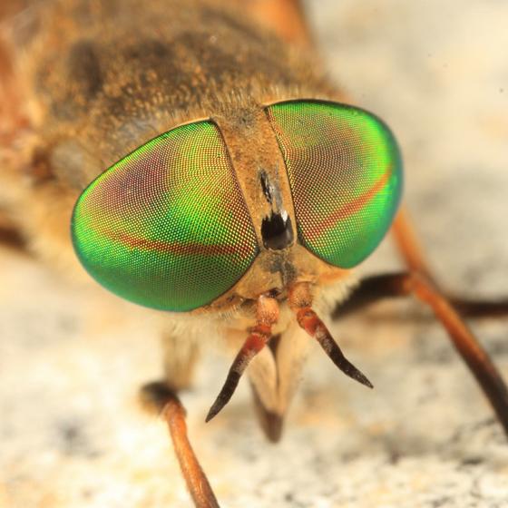 Greenhead - Tabanus nigrovittatus
