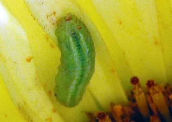 Caterpillar? No, Syrphid Larva.