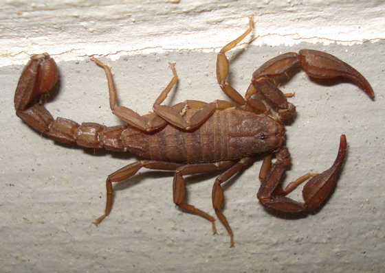 brown Scorpion - Graemeloweus iviei