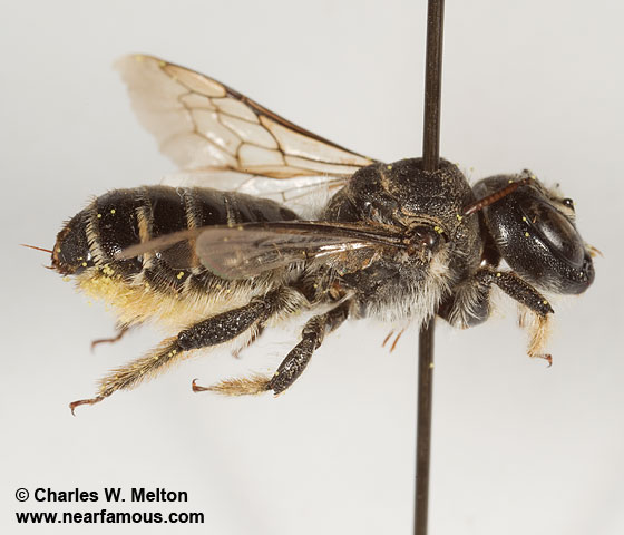 Megachilid - Lithurgopsis - female