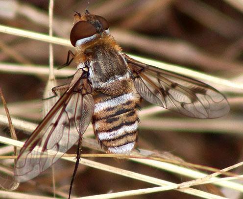 CA Bee Fly - Exoprosopa doris