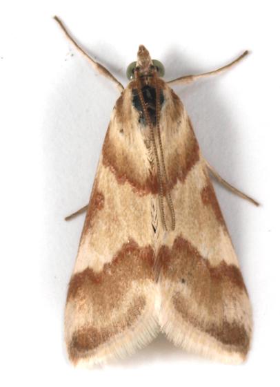 Moth to blacklight - Mimoschinia rufofascialis