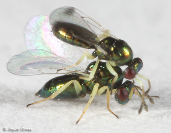 parasitoids - male - female