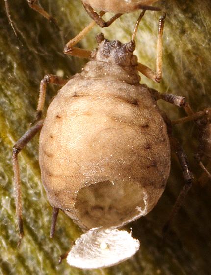 Parasitic Wasp?