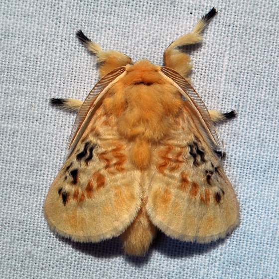 Black-waved Flannel Moth - Hodges#4644 - Megalopyge crispata - male