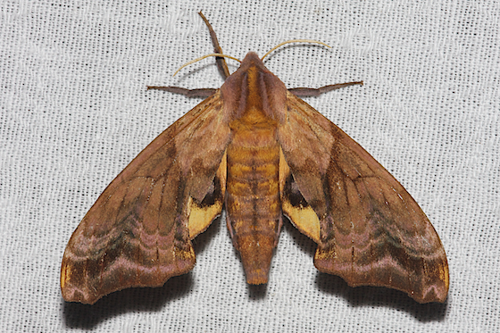 Small-eyed Sphinx - Hodges#7825 - Paonias myops