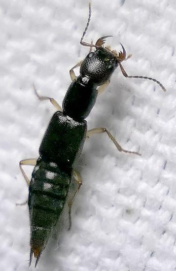 rove beetle - jaws! - Homaeotarsus