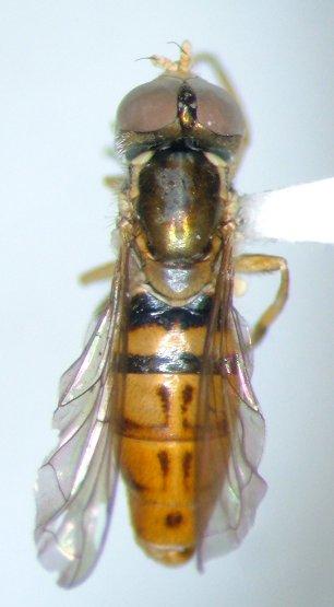 Toxomerus marginatus - male