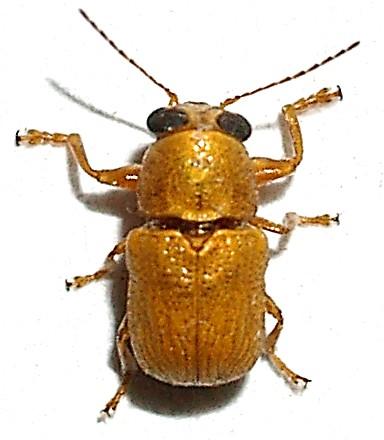 Little yellow casebearer - Pachybrachis