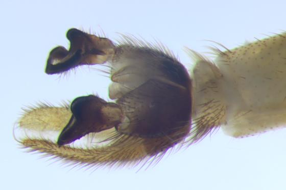 Ditomyiidae - terminalia - Symmerus vockerothi - male